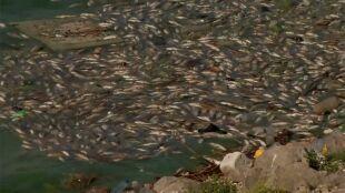 Wirus według władz, zanieczyszczenie zdaniem ekologów. 40 ton martwych ryb na brzegu