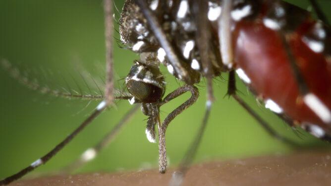 Paryż drży przed komarami tygrysimi. <br />Lista chorób, jakie przenoszą, jest długa