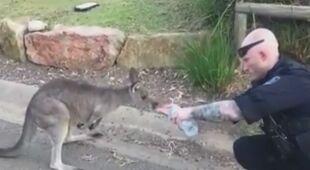 Policjant podaje wodę kangurowi