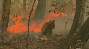 Dramatyczna akcja ratunkowa koali w płomieniach